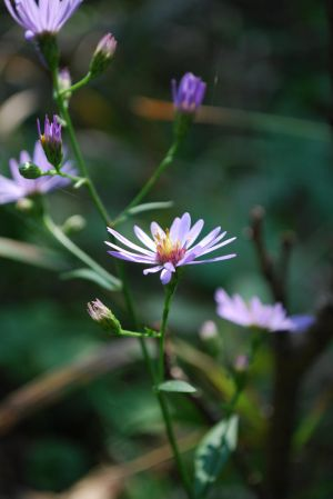 Purple Aster by darkguitar3000