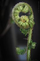 Unfurling by wiebkerost
