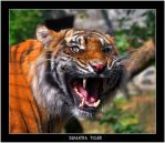 Angry Tiger by Dr-Koesters