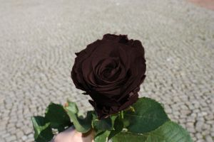 Black rose by PoetBanana
