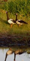 magpie geese by riverrain