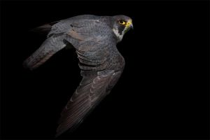 Peregrine by cycoze