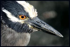 Night Heron by Magical-Me