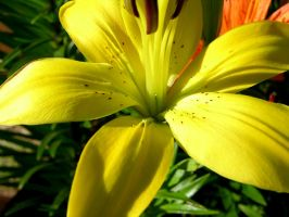 Stock Yellow Lilly 1 by Daturaemo