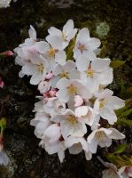 Cherry Blossoms no 4 by TenkouPhotography