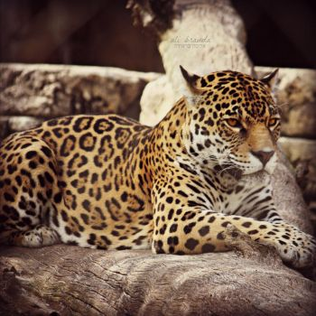Jassi the Jaguar by ahley