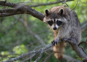 Momma Racoon by DGAnder