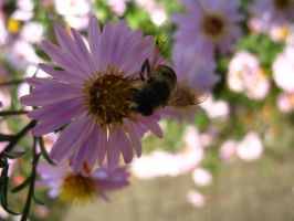 Hoverfly on Violet Aster by DuchesseOfDusk