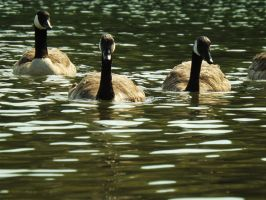 Geese by AppleBlossomGirl