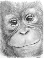 Orangutan in graphite by gregchapin