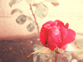 Raindrops and a rose by FrameLife