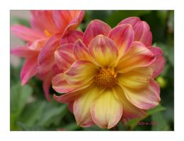 Friday Dahlia 001 by Deb-e-ann
