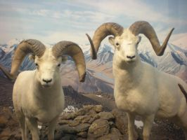 Dall Sheep Ram III by DrachenVarg-stock