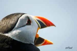 The call of the Puffin by Yoonett