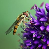 Hoverfly II.I by not-in-my-lifetime