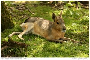 Laid Back Patagonian Cavy by In-the-picture