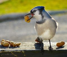 Nutty Jay by CanonSX20