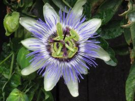 Passion Flower by Karkit