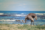 Beach Ostrich by CompassLogic
