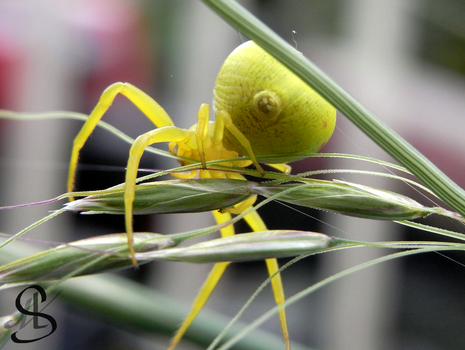 Yellow crab spider by Scalenbee