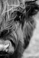 cow by mortenthoms