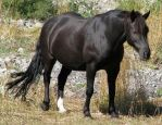 Animal 55 - alpine black horse by Momotte2stocks