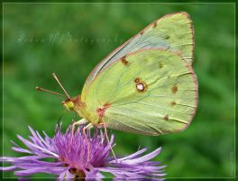 Clouded Sulphur by WaitingForTheWorms