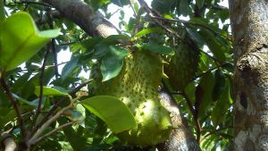 Soursop by oushua
