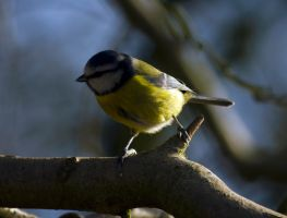 Blue Tit on branch by Steve-FraserUK