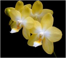 YELLOW ORCHIDS 3 by THOM-B-FOTO
