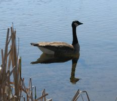 Canada Goose by Capitaine-Jaf