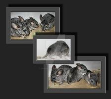 My Chinchillas-Babys by Travail-de-lame