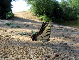 Eastern Tiger Swallowtail by WolvenRemorse
