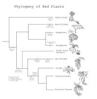 Phylogeny of Red Plants by Malicious-Monkey