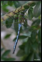 Dragonfly by pinkapple04