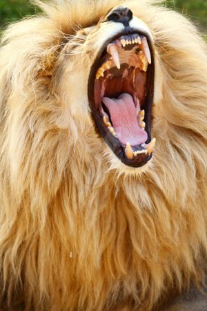 Big lion mouth by Lion-Redmich on DeviantArt