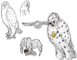 snowy owl sketches by Colliequest