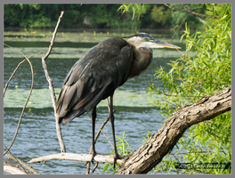 Heron with Water Lilies by Mogrianne