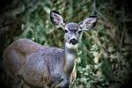 Curious White Tail by skip2000