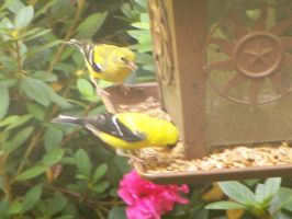 Male and Female Goldfinch by watercolos