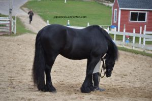 Friesian standing with head down by equustock