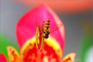 Hoverfly3 by sandxr