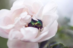 Rose Chafer2 by LiaSelina