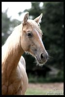 Palomino Stud by TlCphotography730