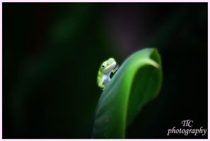 Baby Anole walking by TlCphotography730