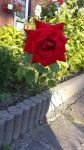 Pretty Red Rose by roxan1930