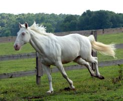 cremello stallion 9 by venomxbaby