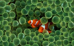 clown fish -unedited- by super-fudge