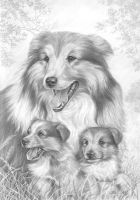 Rough Collies by lynniel