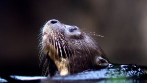 Otter 01 Stock by lokinststock
